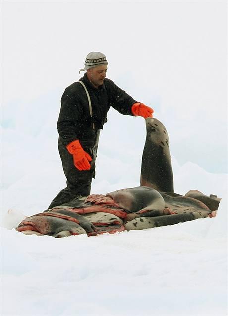 Lov tuleňů v Kanadě