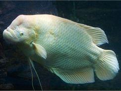 Gurama velká má výrazný tukový hrbol na čele.