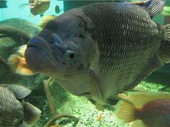 Dnes už se Pepa prohání ve velkém sladkovodním akváriu, nejen se dvěma slečnami stejného druhu, ale i s piraňami, koi kapry a vodními želvami. Přitom ve velmi poklidné atmosféře.