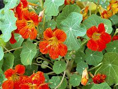 Jedlé květy lichořeřišnice můžete použít i do salátů.