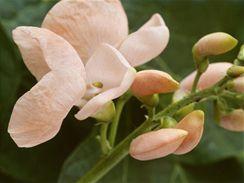 Popínavý fazol s lososově růžovou barvou květu.