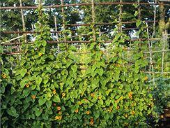 Černooká Zuzana vám vytvoří nádhernou zelenou stěnu s výraznými květy.