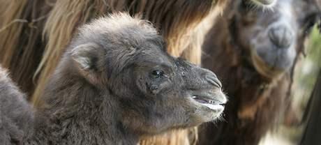 Mládě velblouda dvouhrbého v brněnské zoo