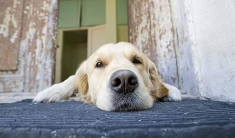Pokud nespí, tak se pes sám doma docela nudí.