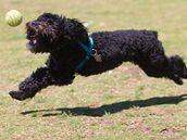 Portugalský vodní pes