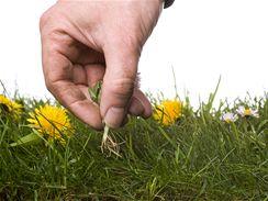 Pampeliška, tedy správně smetanka lékařská, má dlouhý kůlový kořen, který je velmi obtížné z trávníku vytáhnout.