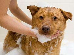 Srst psa i kočky můžete odmastit speciálním psím šamponem, případně lze použít i jar. Potřebnou neutralizaci zajistíte spláchnutím srsti citronovou vodou