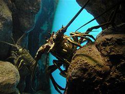 Langusty žijí obvykle v koloniích, v podmořských jeskyních.