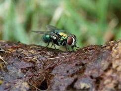 Hmyz si na exkrementech pochutná stejně jako na vašem koláči.
