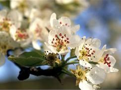 Jabloňové květy nesmí spálit přízemní mrazíky, jinak je po úrodě.