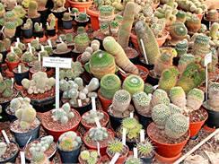 Letošní jaro je suché a teplé, kaktusy tedy potřebují dostatečně zalévat.