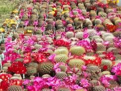 Krásně nakvetlé kaktusy kaktusáře Ladislava Horáčka.