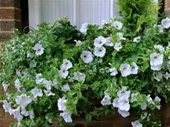 Truhlík romanticky osazený jen bíle kvetoucími rostlinami.