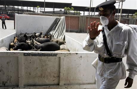Egyptský policista střeží náklad prasat dovezených na jatka v Káhiře.