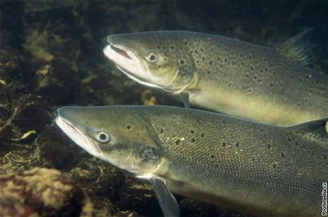 Lososi uměle vysazovaní rybářským svazem od roku 1998 do přítoků Labe se k nám opravdu už několik let vracejí.