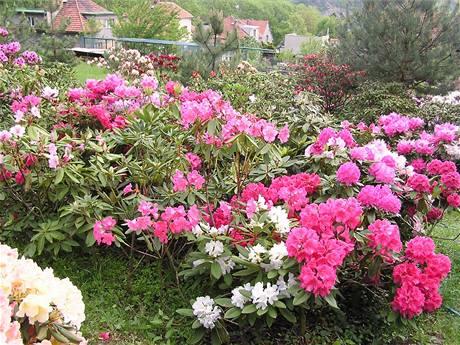 Rododendrony pocházejí z horských oblastí, proto se jim u nás dobře daří především ve středních a vyšších polohách.