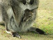 V Hodoníně mají nové mládě klokana