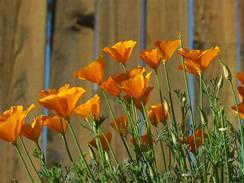 Kalifornský máček je nenápadná drobná kytička s nesmírným kouzlem.