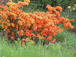 Opadavé azalky každé jaro září záplavou květů jasných barev.