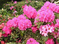 Růžové a fialové odstíny květů jsou typické pro pěnišníky s kožovitými listy.