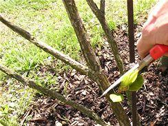 Hluboký řez u starších keřů se provádí brzy zjara, 30 až 40 cm nad zemí.