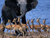 Slon a antilopy