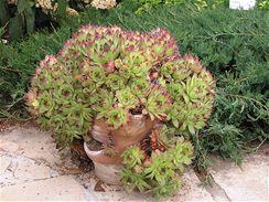 Nejběžnější netřesk střešní (Sempervivum tectorum).