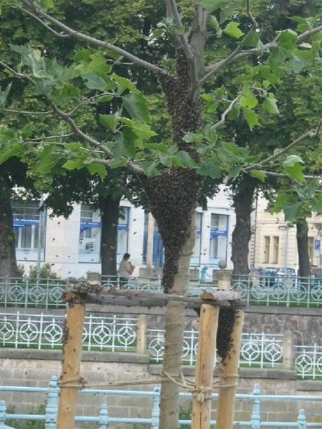 Roj včel na Eliščině nábřeží v Hradci Králové