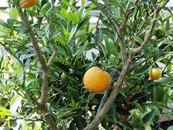 Roubené citrusy se vám za letnění rády odmění i úrodou.