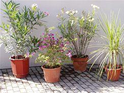 Oleandry, bugenvilie i juky patří v létě ven.