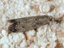 Zavíječ moučný (Ephestia kuehniella).