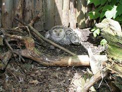 Sova sn�n� z d���nsk� zoo