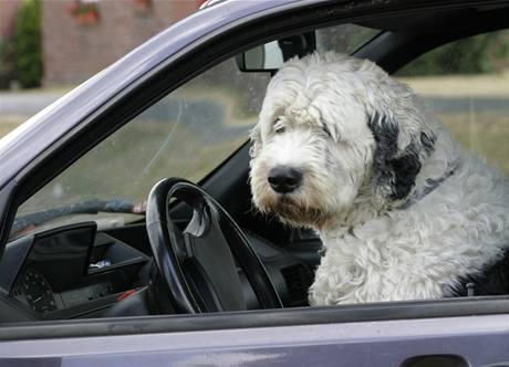 Pes nesmí zasahovat do řízení. V žádném případě.