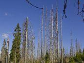 Uschlé stromy zničené kůrovcem  v oblasti Šumava Březník.