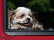 Pes by v žádném případě neměl mít vystrčenou hlavu z okna