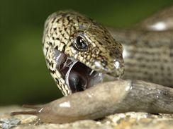 Slepýše si na své zahradě hýčkejte. Pro slimáky je to přirozený nepřítel, který si na nich rád pochutná.