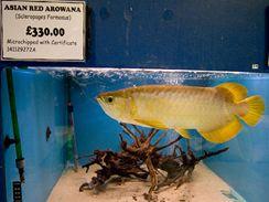 Baramundi malajský (Scleropages formosus) neboli Arowana asijská (Scleropages formosus).