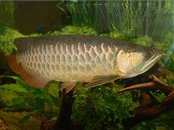 Baramundi malajský (Scleropages formosus) neboli arowana asijská (Scleropages formosus), zlatá forma.