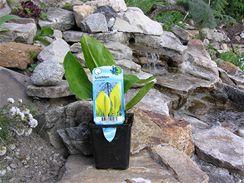 Rostliny, jako třeba tento kapsovec (Lysichiton), koupíte na trhu zasazený v substrátu.