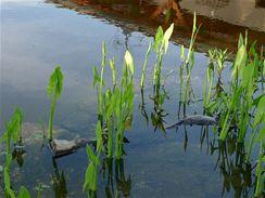 Šípatka širokolistá (Sagittaria latifolie) roste bujně, má ráda slunce až polostín. Snáší stále vlhkou bažinu a hloubky až 30 centimetrů.