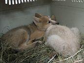 Vlčata z brněnské zoo už mají jména.