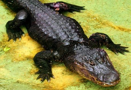 Aligátor severoamerický z ústecké ZOO - samec Libor