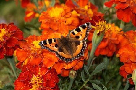 Vám afrikány vonět nemusí, stačí když voní motýlům.