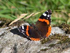 Zvláště po ránu se motýli rádi vyhřívají na sluníčku.
