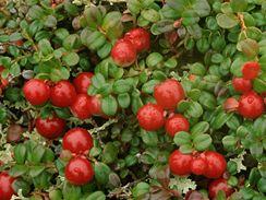 Plody brusinky neboli klikvy v plné kráse.