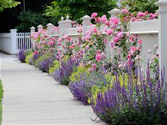 Krásně vypadají záhony kombinující růže, kontryhel a modrou levanduli nebo šalvěj.