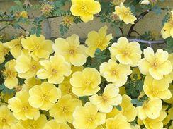 """Růže """"Helen Knight"""" s jednoduchými květy."""