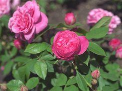Růže s velkými a plnými květy jsou asi nejoblíbenější.