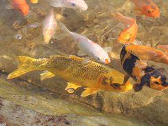 Pořídit si můžete i zlatou rybu, koi kapr zlatavé barvy je na trhu dostupný.