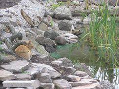 Kočka loví tlapkou. Zasekne rybě drápy do těla a vytáhne ji z vody.